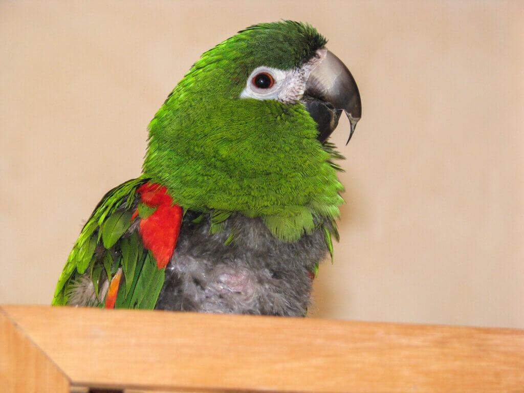 Ornitose ou psitacose em aves: causas, sintomas e tratamentos
