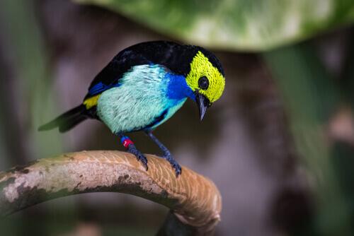 Sete-cores-da-amazônia: características e alimentação
