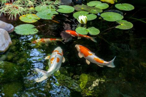 Quatro peixes em um lago.