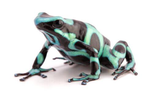 Uma Dendrobatidae azul.