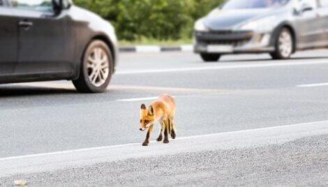 Uma foto que exemplifica raposas urbanas.