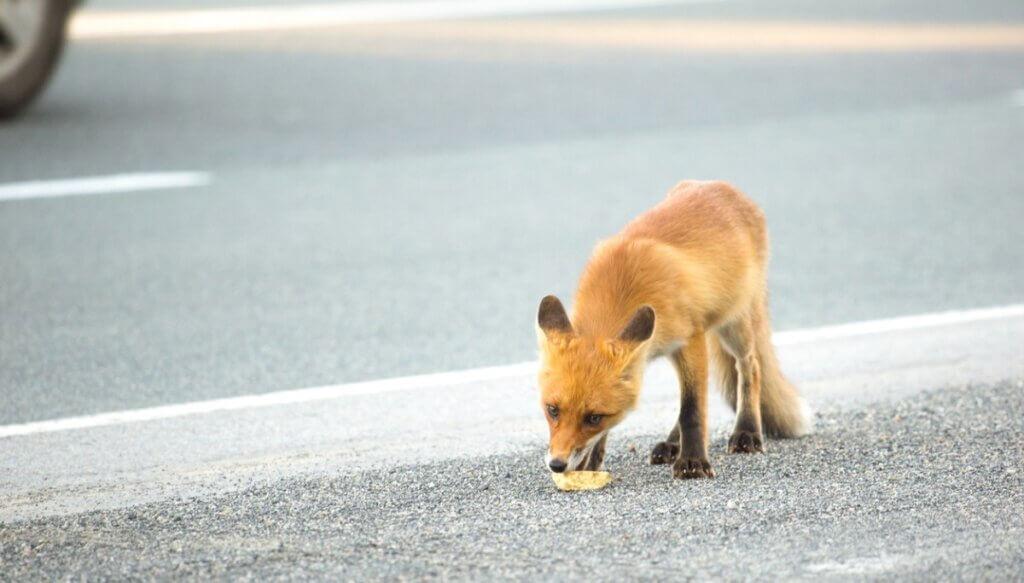 Raposa urbana comendo lixo.
