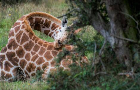 Girafas: um dos animais que dormem pouco