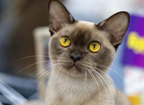 O rosto de um gato burmês.