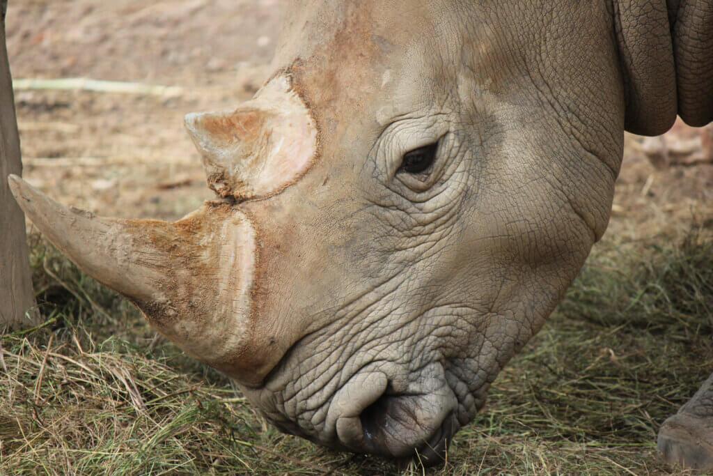 O rinoceronte-de-java: por que está em perigo de extinção?