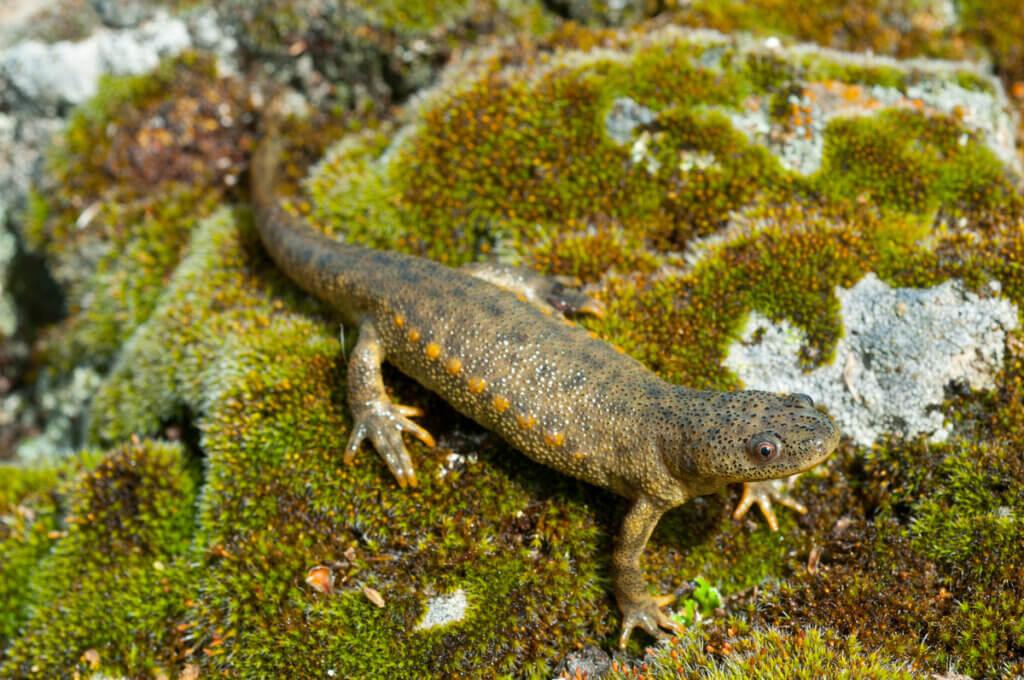 A salamandra-de-costelas-salientes: características e habitat