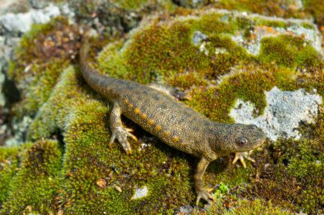 Uma salamandra-de-costelas-salientes em uma pedra.