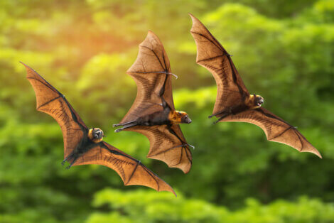 Três morcegos frugívoros voando.