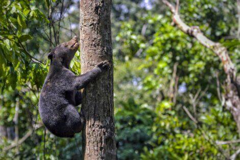 Um urso-malaio subindo em árvore.