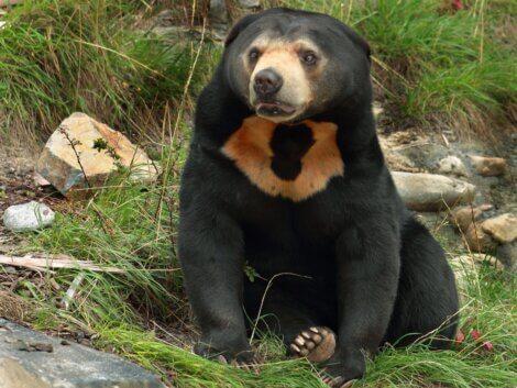 O rosto de um urso-malaio.