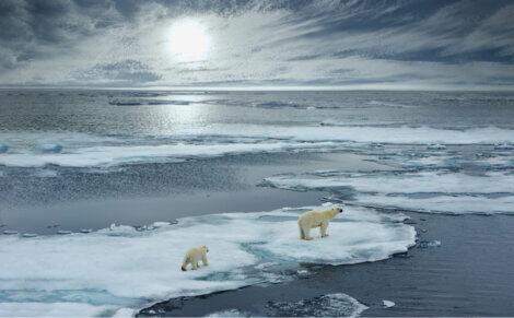 Dois ursos-polares.