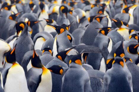 Uma população de pinguins-imperador.