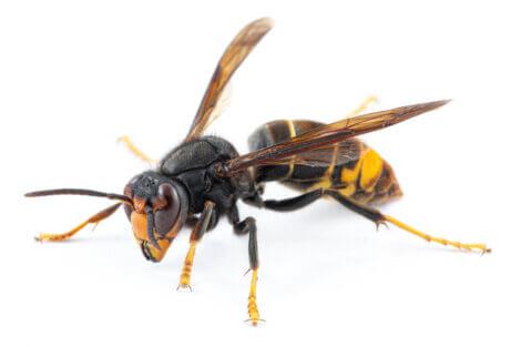 Uma vespa-asiática em um fundo branco.