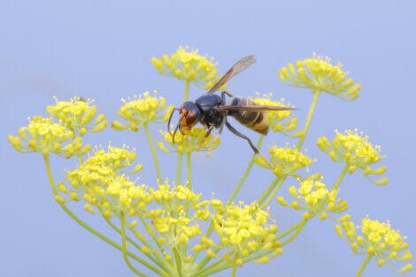 Uma vespa-asiática pousando em uma flor.