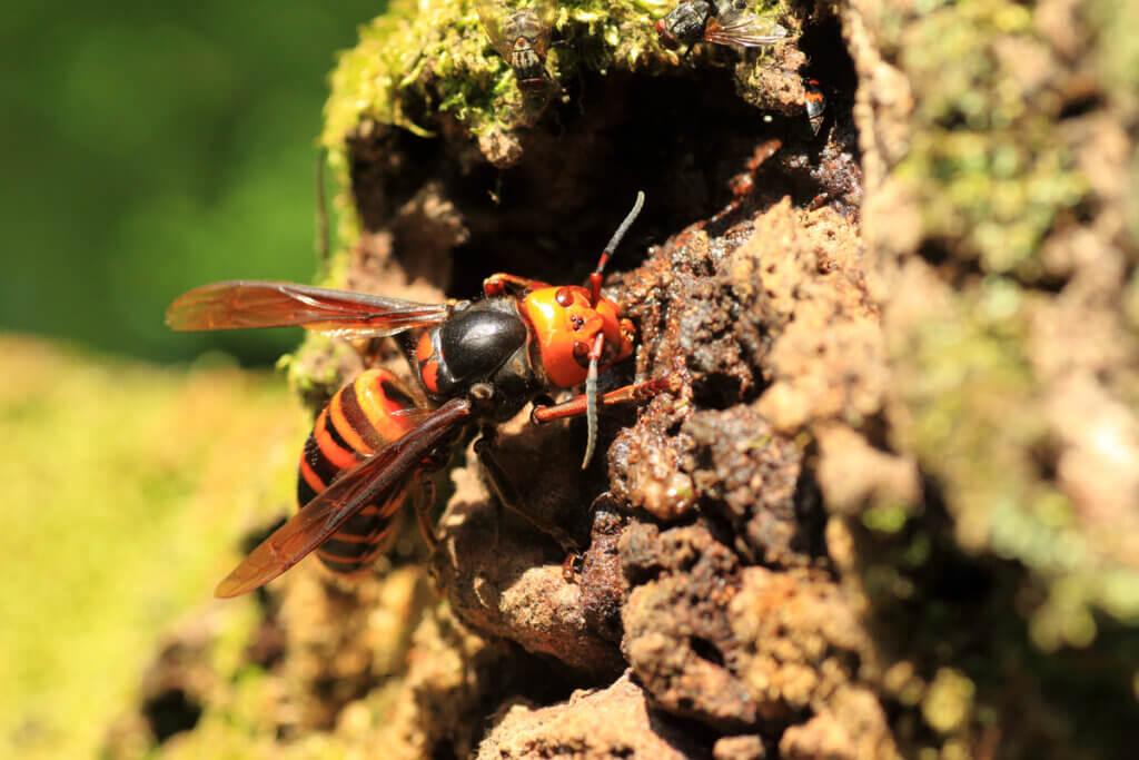 O veneno da vespa-asiática: tudo o que você precisa saber