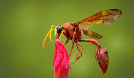 Uma vespa-oleira em uma flor.