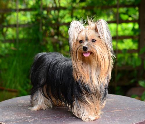 Saiba tudo sobre a raça yorkshire terrier
