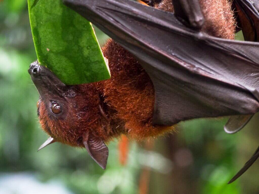 8 características de morcegos frugívoros