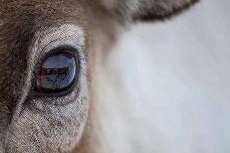 Um cervo com pelos nos olhos.
