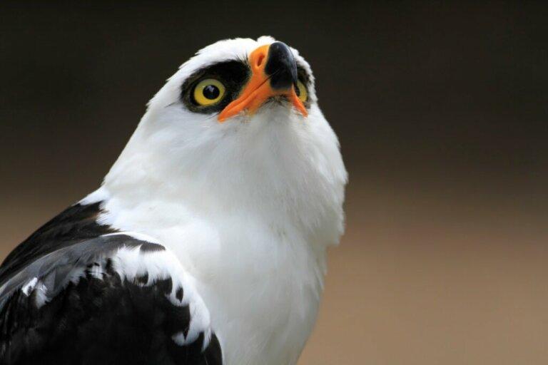 A águia-viúva: uma espécie da floresta tropical