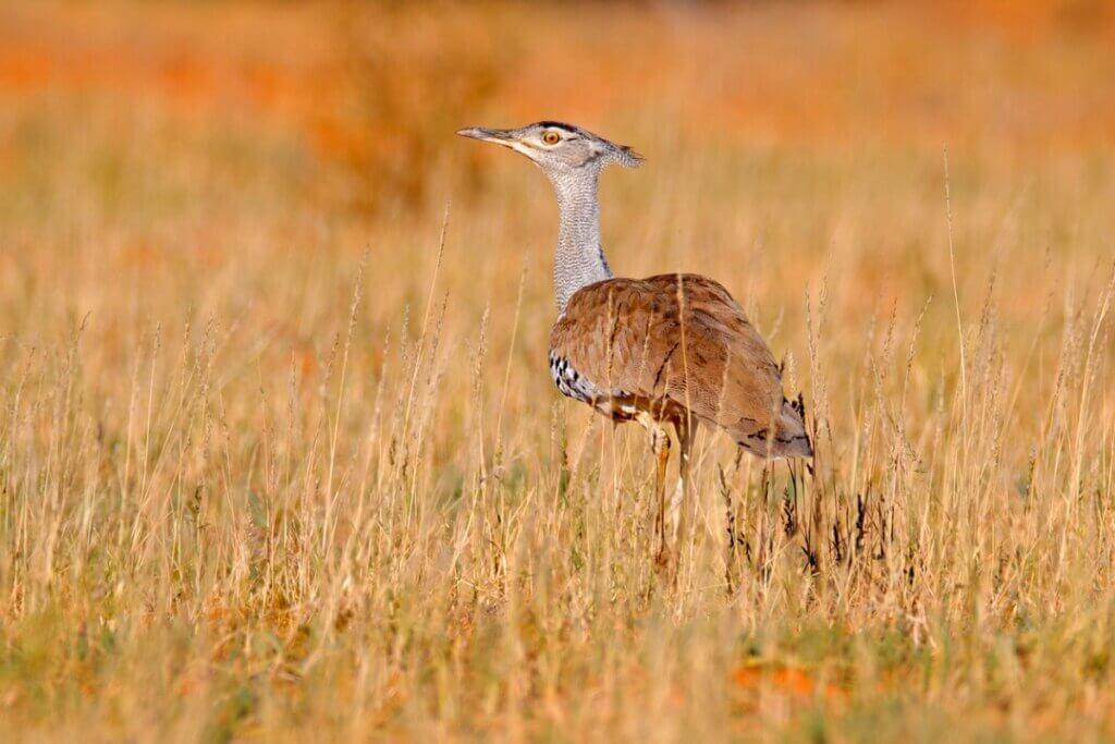 Abetarda-indiana: uma das maiores aves voadoras em perigo de extinção