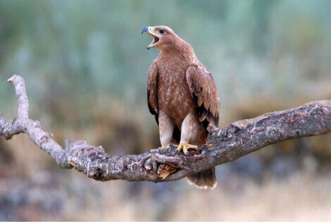 A águia-imperial-ibérica: um dos animais mais emblemáticos da Espanha