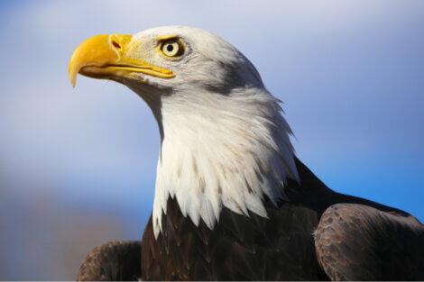 A águia é um dos animais adorados pelos indígenas.