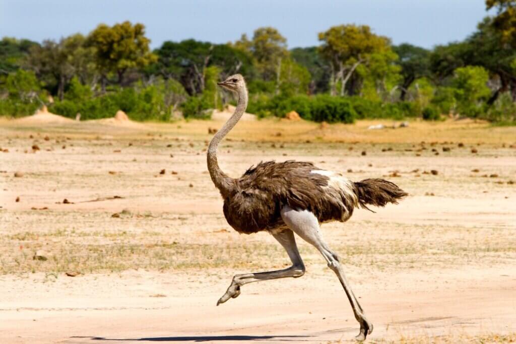 5 curiosidades sobre os avestruzes