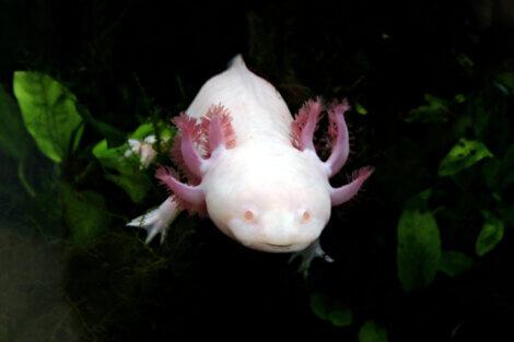 O axolote (Ambystoma mexicanum)