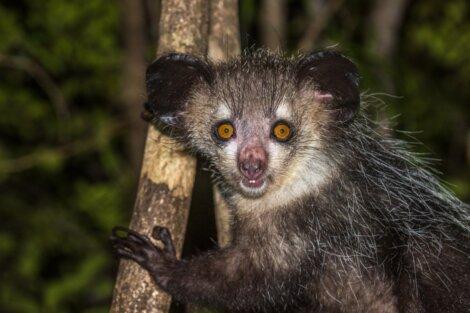 Um aye-aye, um dos animais de Madagascar.