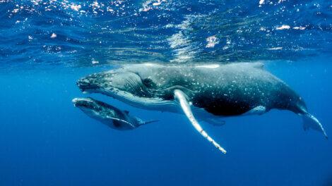 Baleia-azul: o maior dos maiores animais.