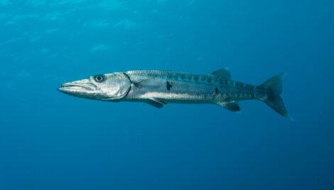 Uma barracuda no mar.