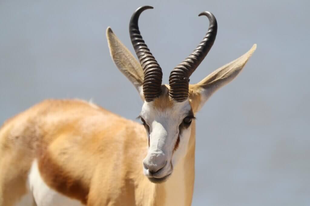 Cabra-de-leque: características, distribuição e habitat