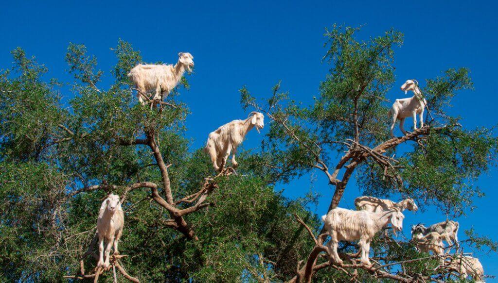 Por que as cabras sobem em árvores no Marrocos?