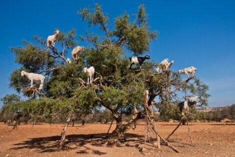 As cabras marroquinas sobem em árvores.