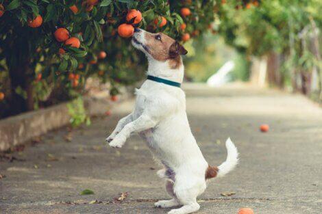 Um cão cheirando laranja no pé.