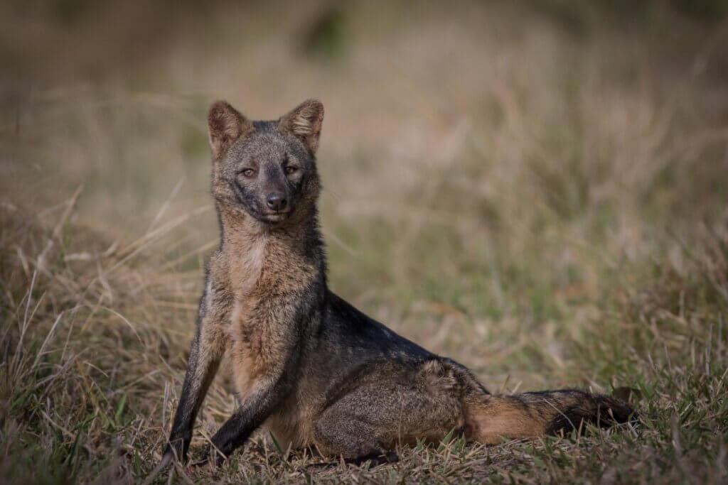 Cachorro-do-mato: características, distribuição e alimentação