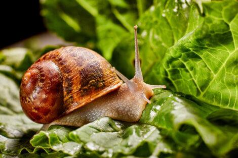 Um dos tipos de caramujos: caracoleta (Helix aspersa)