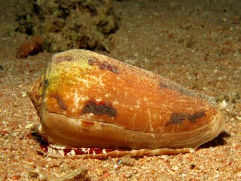 Um tipo de caramujo marinho