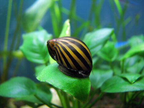 Um dos tipos de caramujos: Neritina natalensis