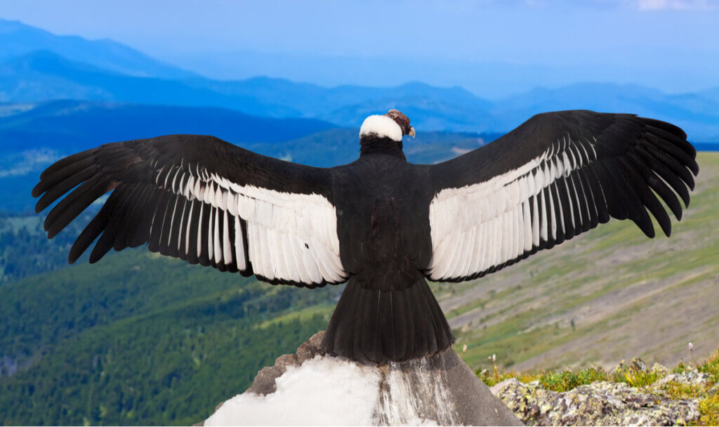 Argentavis magnificens: a maior ave do mundo