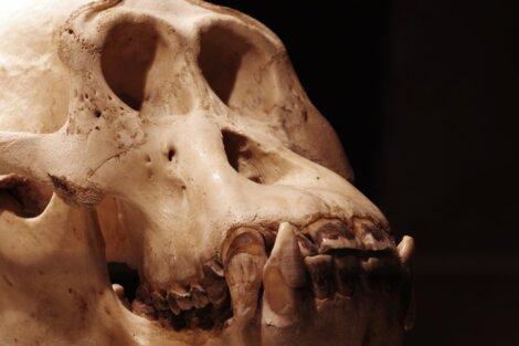 Um dos maiores animais foi o Gigantopithecus blacki.