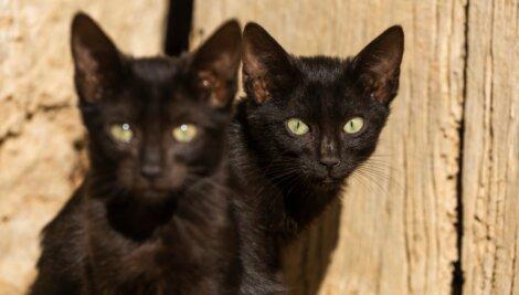 Gatos pretos que parecem gêmeos.
