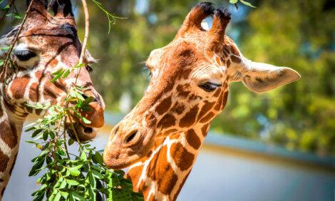 Curiosidades sobre os mamíferos: o pescoço das girafas.