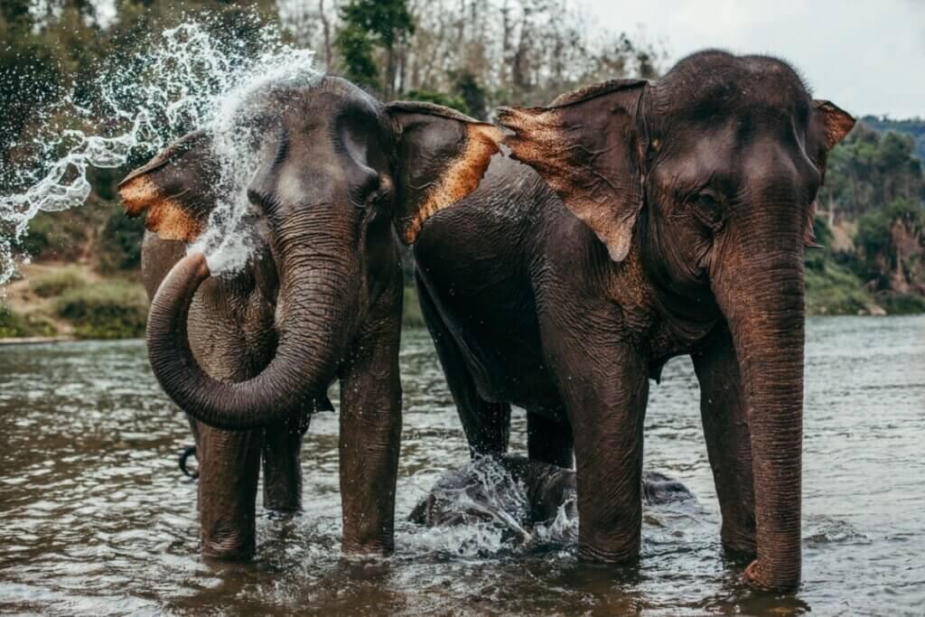 Elefante-asiático: características, distribuição e alimentação