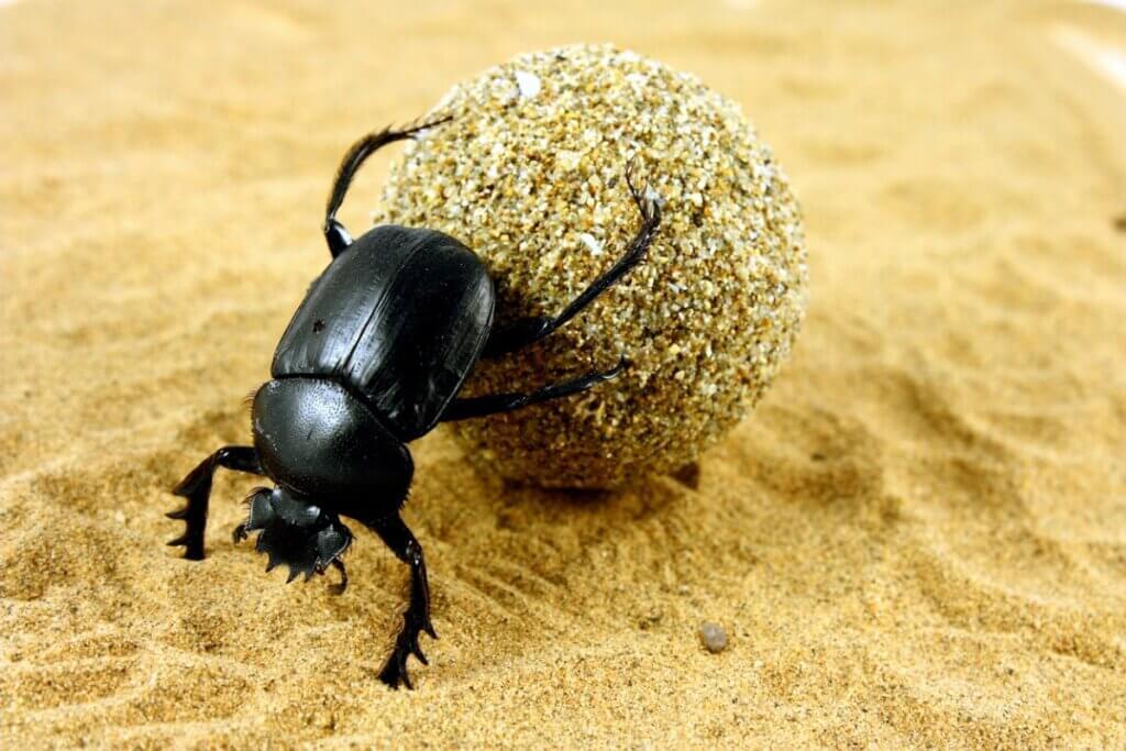 O escaravelho egípcio: um amuleto de vida e poder