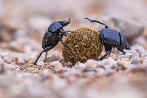 Esses escaravelhos eram animais que os egípcios adoravam.