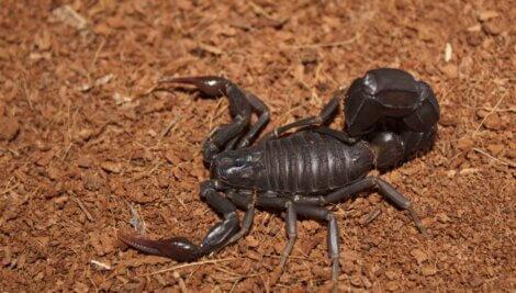 Um escorpião Androctonus bicolor