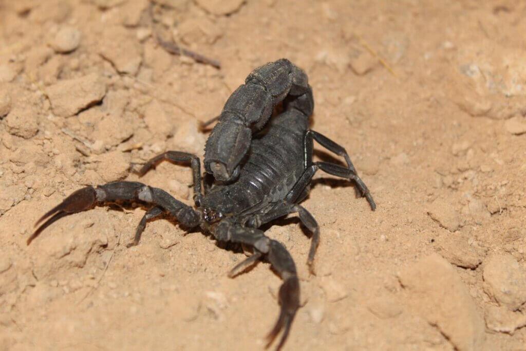 O escorpião Androctonus bicolor: habitat e características
