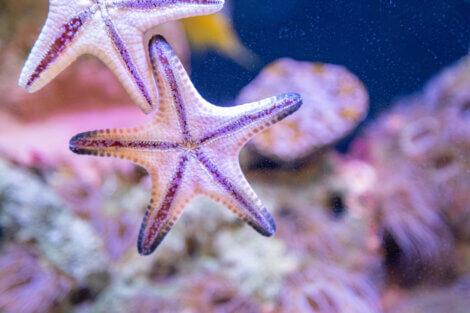 A reprodução em estrelas-do-mar é intrigante.
